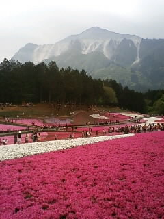 武甲山と芝桜