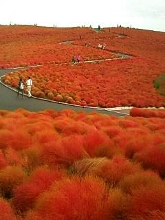 コキアの紅葉