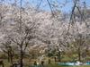 200604chichibusakura01