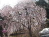 200604chichibusakura02