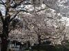 Tokyostsakura0603292