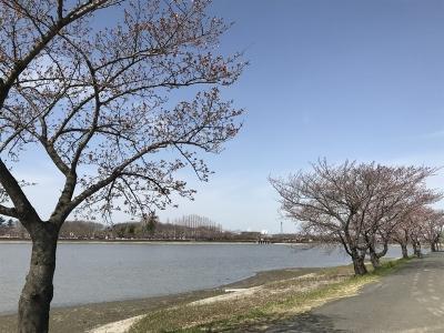 200321sakura01